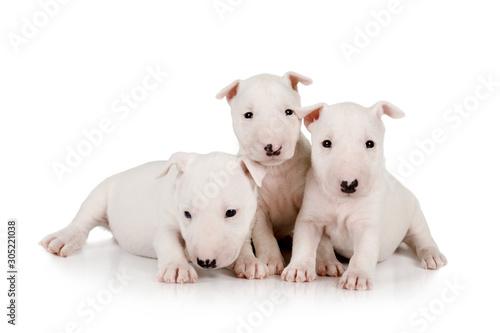 Leinwand Poster Three purebred white  Miniature Bull Terrier puppies