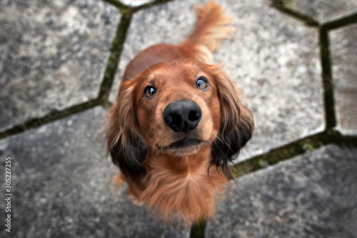 Recess Fitting India adorable dachshund dog sitting outdoors, top view portrait