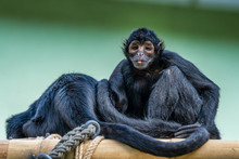The Black-headed Spider Monkey...