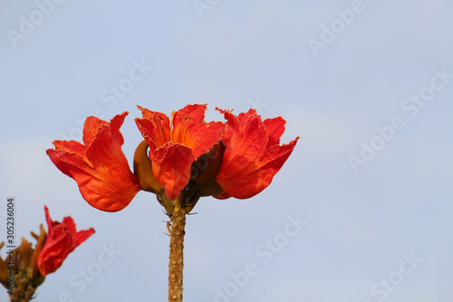 Pinturas sobre lienzo  Blossom of the African tulip tree (Spathodea campanulata) against blue sky
