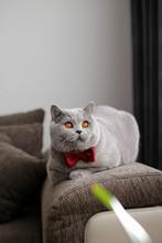 British Shorthair Cat, Gray W...