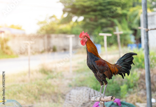 Chicken rooster, The concept of organic animal husbandry, thai fighting cock Wallpaper Mural