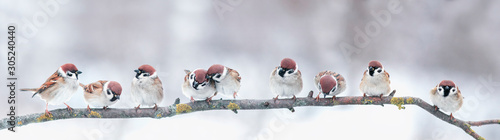 panoramic photo with a group of small funny birds sparrows sit on a branch in different poses in a winter Park