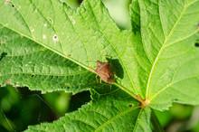 Brown Stink Bug O Okra Leaf