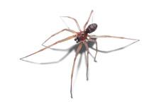 Spider Isolated On White Backg...