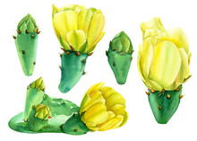 Set Of Watercolor Drawings, Summer Flowers And Plants, A Flowering Cactus, Hand Drawing, Botanical Illustration