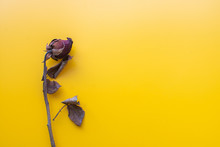 Dry Rose On Yellow Background....