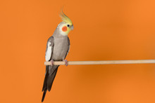 Cockatiel Isolated On Orange B...