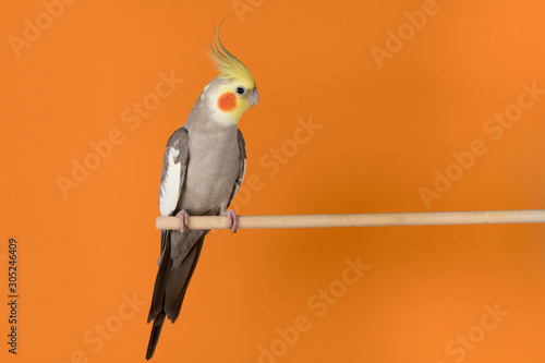 Valokuvatapetti Cockatiel isolated on orange background, best parrot pictures