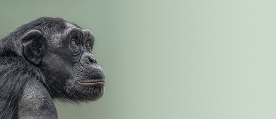 Banner with portrait of curious wondered adult Chimpanzee at smooth gradient background with copy space for text, closeup, details