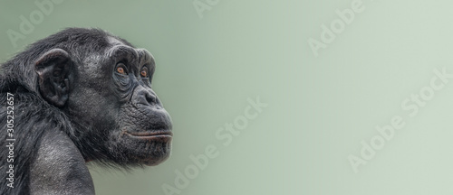 Foto Banner with portrait of curious wondered adult Chimpanzee at smooth gradient bac
