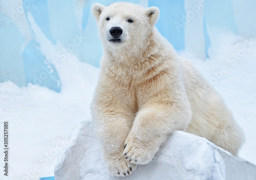 polar bear in snow Wallpaper Mural