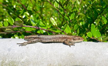 Lizard Without Tail Lies On A ...