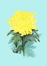 Yellow Chrysanthemum Flower And Green Leaves,  Isolated Image One Blue Background.