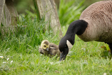 A Gosling Watches And Learns F...