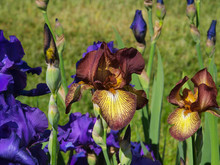A Variety Of Red Iris Flowers