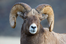 Bighorn Sheep In Gardiner Mont...
