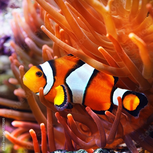 Cuadros en Lienzo Amphiprion ocellaris clownfish in the anemon