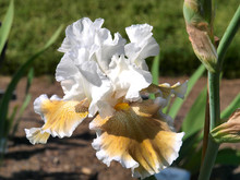 A Variety Of White Iris Flowers