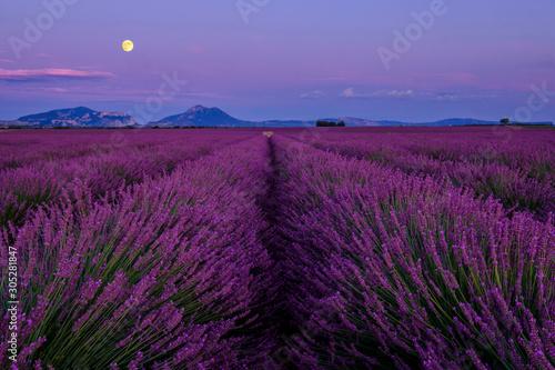 Garden Poster Lavender Champ de lavande en fleurs, lever de lune. Plateau de Valensole, Provence, France.