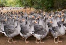 Flock Of Geese On A Farm In ...