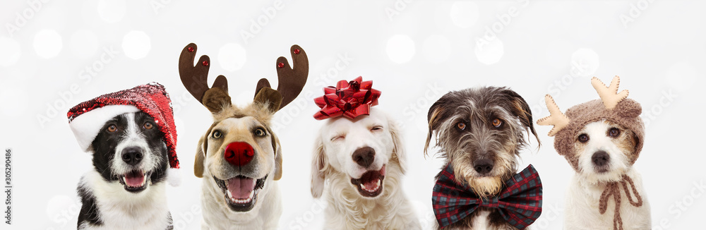 Fototapeta Banner five dogs celebrating christmas holidays wearing a red santa claus hat, reindeer antlers and red present ribbon. Isolated on gray background
