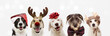 Banner five dogs celebrating christmas holidays wearing a red santa claus hat, reindeer antlers and red present ribbon. Isolated on gray background