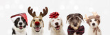 Fototapeta Zwierzęta - Banner five dogs celebrating christmas holidays wearing a red santa claus hat, reindeer antlers and red present ribbon. Isolated on gray background