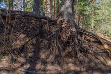 Exposed Tree Roots On The Ground And Tree Roots