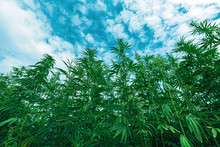 Cultivated Industrial Hemp Far...