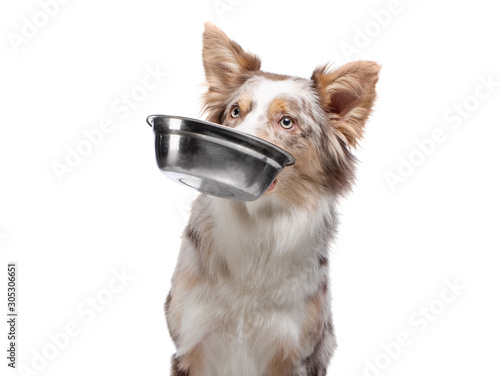 dog holds a bowl for food in his teeth. healthy food for pets. Border Collie on a white background. Wall mural