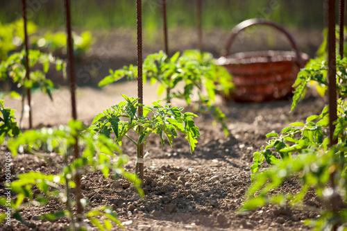 Panier dans un potager et jeunes pieds de tomate. Fototapete
