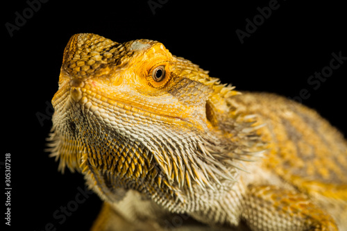 Agama bearded dragon reptile on black background Canvas Print