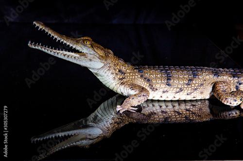 Photo  Fresh water crocodile - native animal in northern Australia, studio