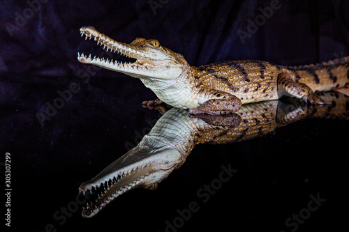 Fresh water crocodile - native animal in northern Australia, studio Canvas Print