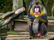 Closeup Of A Mandrill Sitting,...