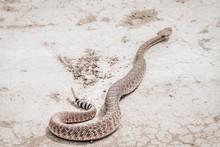 Rattle Snake Closeup. Venomous...