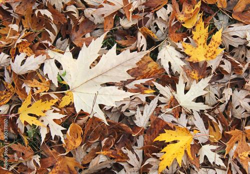 Photo colori d'autunno; tappeto di foglie di acero argenteo (Acer saccharinum)
