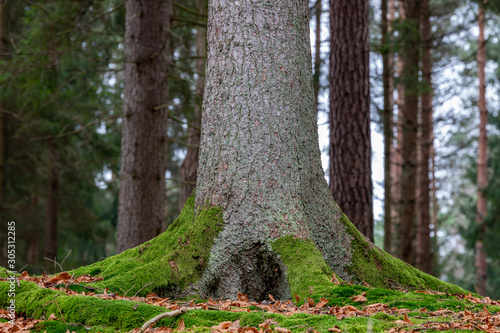 Fotografie, Obraz The trunk of a large spruce tree