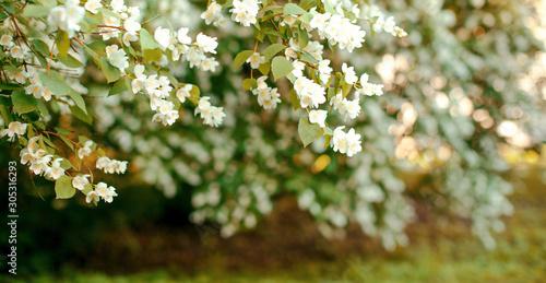 Jasmine. Spring flowers. Summer bloom Canvas Print