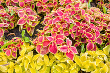 Garden Coleus Plants With Brig...