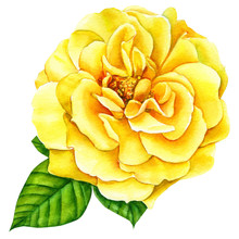 Yellow  Rose On A White Backgr...