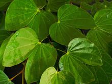 Bauhinia Malabarica Roxb Leaf ...