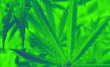 canvas print picture -  marijuana neon background. bush cannabis.