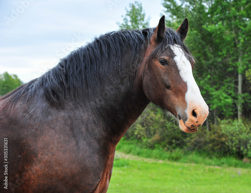 Valokuva Portrait of a Clydesdale Horse on the Alberta Prairie