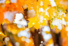 Autumn Maple Leaves With Snow ...