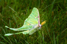 Luna Moth Side View Surrounded By Green Grass