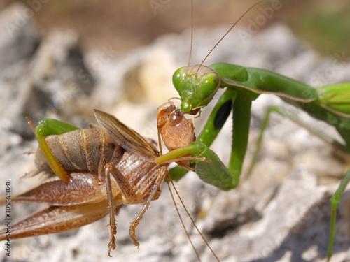 Photo european mantis religiosa, feeding grasshopper