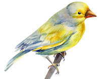 Beautiful Yellow Bird On Isolated White Background, Watercolor Illustration