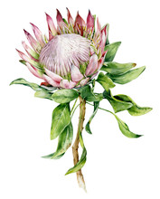 Watercolor Flower Protea. Hand Painted Exotic Plant Isolated On White Background. Botanical Illustration Of Summer Flora.